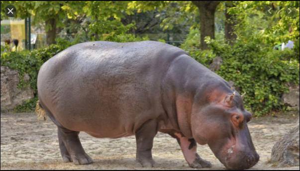 Quelle est la couleur des secrétions des hippopotames ?
