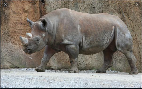 De quoi est faite la corne de rhinocéros ?