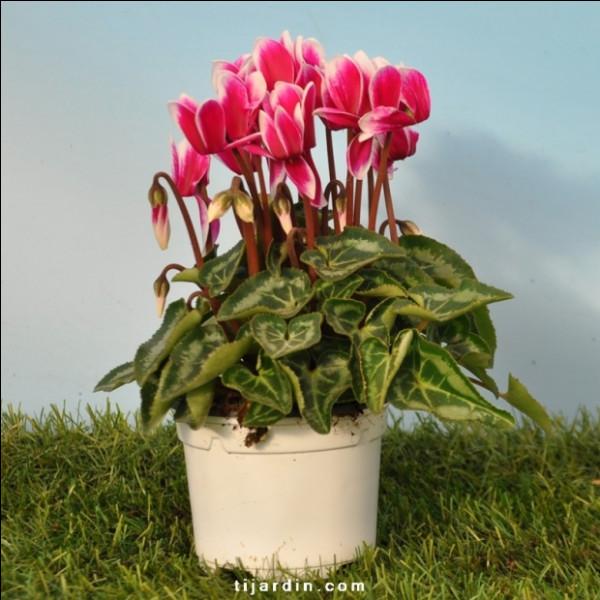 Il a beaucoup travaillé dans l'horticulture ! Si vous lui demandez quelle plante choisir pour fleurir votre terrasse à l'automne, il vous recommandera celle-ci !