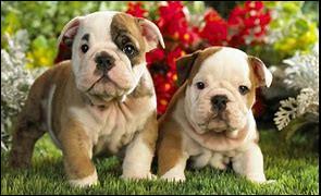 D'où vient le nom bulldog ?