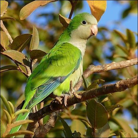 """Quel est l'autre nom de l'oiseau appelé """"perruche-souris"""" ?"""