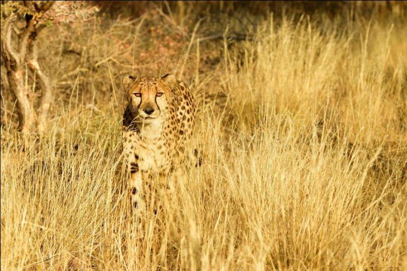 Sur cette photo, on voit un léopard, appelé aussi panthère !