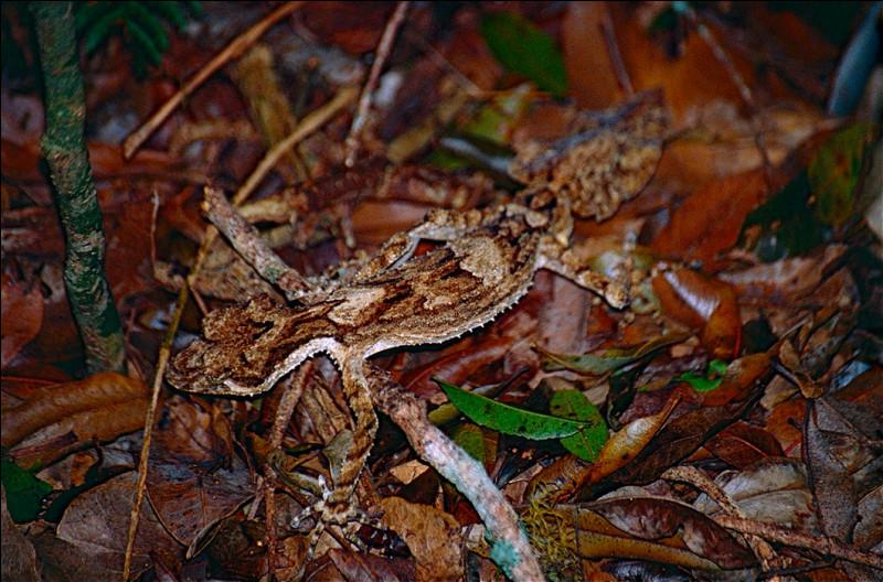 Il se confond avec les feuilles, c'est un gecko !