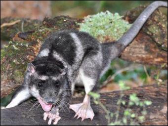 Marsupial aquatique d'Amérique aussi appelé opossum aquatique, sarigue d'eau ou sarigue aquatique :