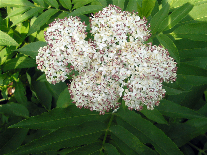 Petit sureau à fleurs ombellées, blanches ou rosées, produisant des baies noires utilisées, autrefois, comme teinture ou pour colorer le vin.