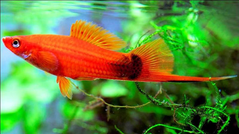 ''Porte-épée » ou ''porte-glaive'', ce poisson d'eau douce tropicale, est répandu dans les aquariums.