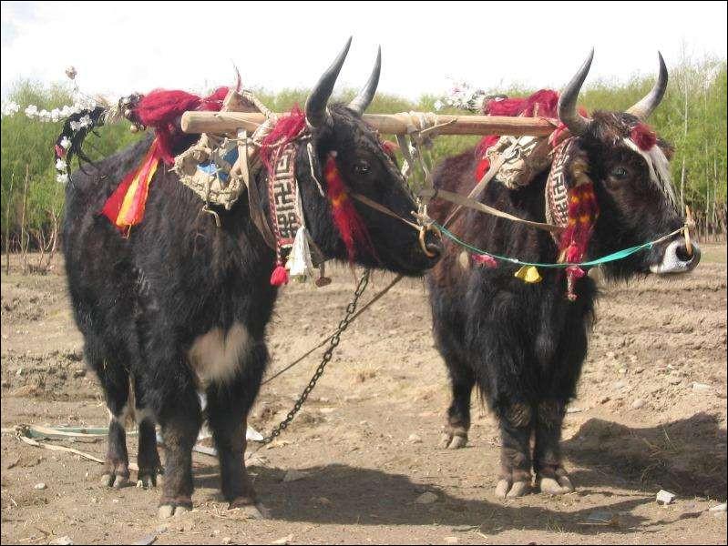 Ruminants à poils longs, élevés dans les régions himalayennes, au Tibet, en Chine ou à Népal :