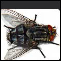 La mouche est un insecte.