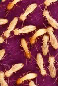 La termite est un insecte.