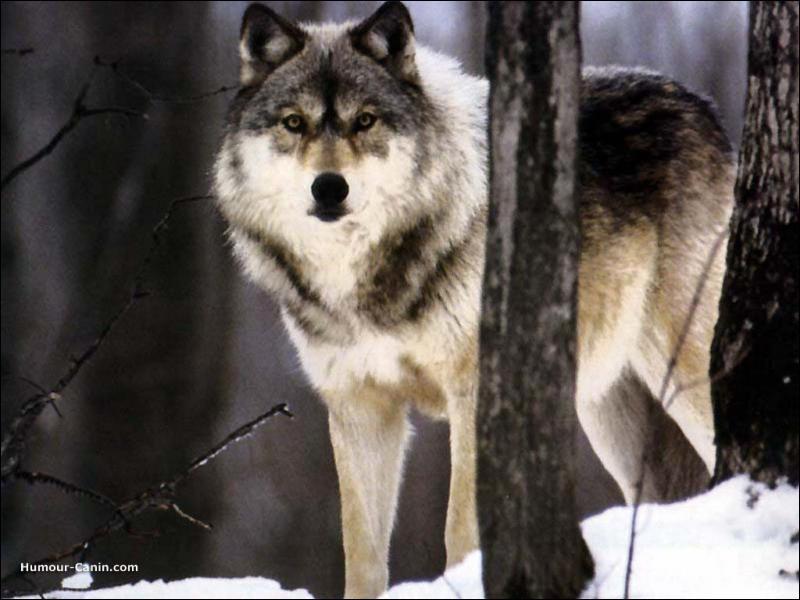 Grâce à quoi les loups gris ont survécu ?