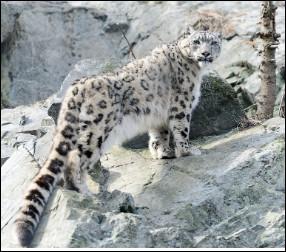 Quel est le nom de ce félin qui vit dans les montagnes d'Asie centrale et qui monte jusqu'à 5 500 mètres ?