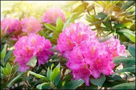 Le rhododendron est caduc.