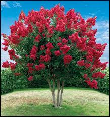 Le lila des Indes fleurit de juillet à octobre.