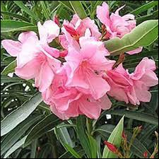 Pour rempoter un laurier rose, il vous faudra de la terre méditerranéenne.