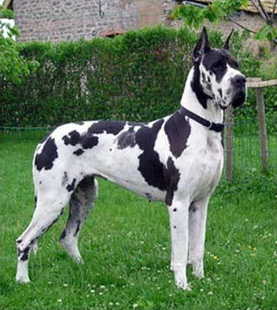 Les races de chiens en D
