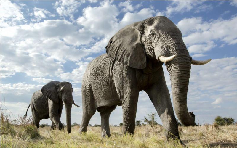 Comment s'appelle le cri de l'éléphant ?