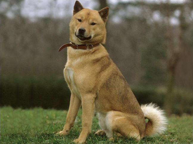 Les races de chiens en H, I, J et K
