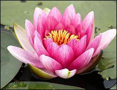 Quelle est cette plante aquatique dont la fleur est sacrée dans les religions orientales ?