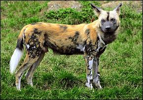 Quel est ce mammifère carnivore de la famille des canidés ?