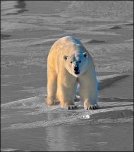 Sous sa belle fourrure blanche, quelle est la couleur de la peau de l'ours polaire ?