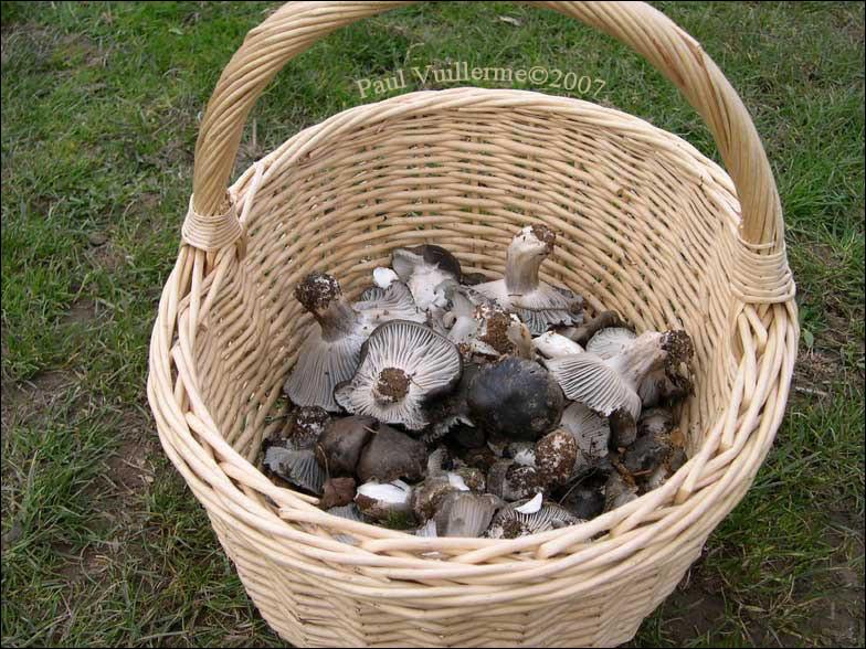 Hippophile, Cloclo et Fozzie ont apporté quelques champignons de printemps pour garnir la viande. Ce sont les premiers, profitons-en !