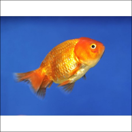 Un être vivant se nourrissant exclusivement de poissons se dit...