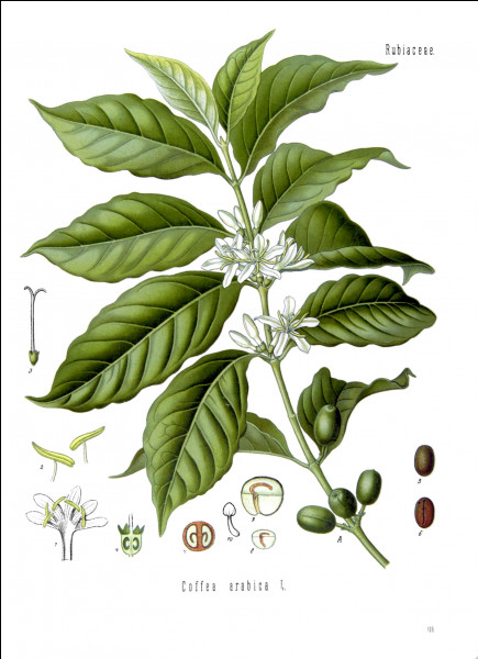 Le caféier est un genre de plantes de la famille des...