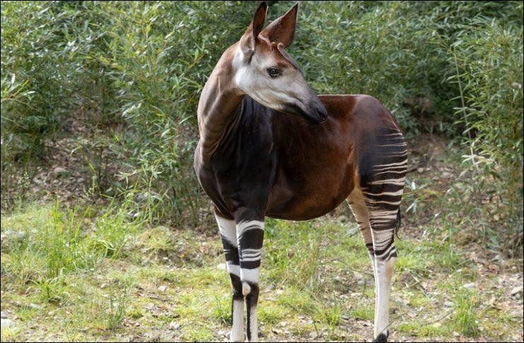 On ne connait cet animal que depuis environ 120 ans (en 1901) , sur quel continent d'après vous ?