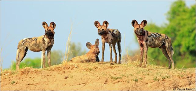 C'est un chien sauvage qui vit et chasse en meute, partant de là, vous devriez trouver le continent !
