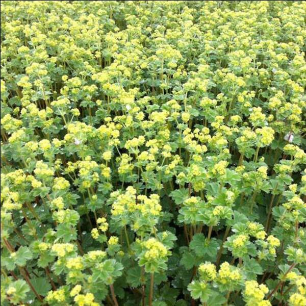 Quelle est cette plante herbacée vivace à fleurs de la famille des Rosacées ?
