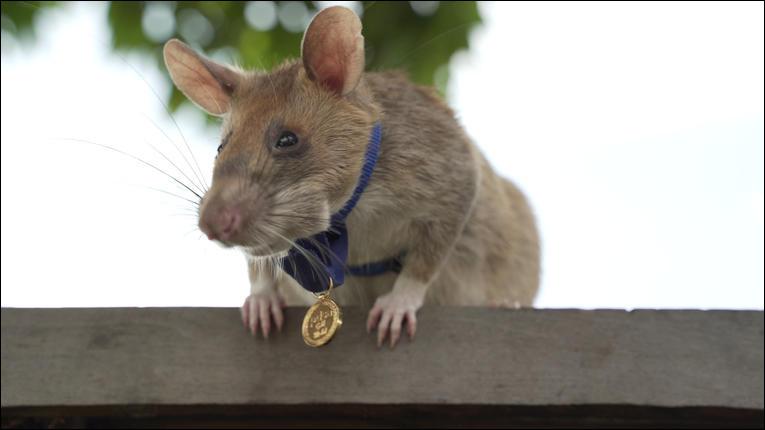 Enfin, une bonne nouvelle pour terminer. Un rat a été décoré pour sa bravoure au Royaume-Uni. Quelle est la fonction exercée par cet animal ?