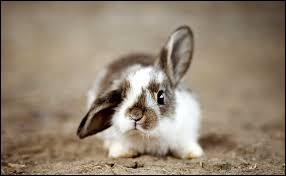 Le lapin fait partie des rongeurs.