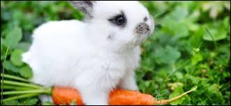 Le lapin ne mange que des carottes.