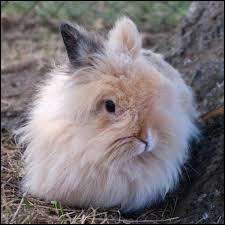 Le lapin sur cette photo est de la race angora.