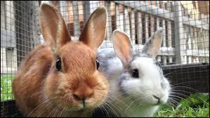 L'élevage des lapins s'appelle la cuniculiculture.