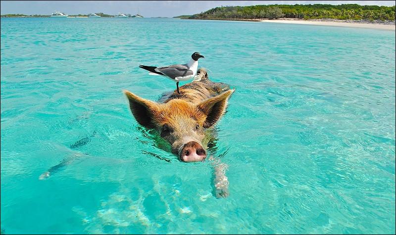 Nature – Quelle est cette espèce que l'on peut, à notre grand plaisir, retrouver sur une île bahaméenne ?