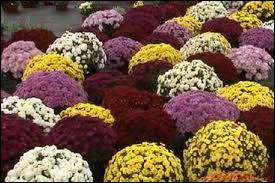 """Que signifie étymologiquement le mot """"chrysanthème"""" ?"""