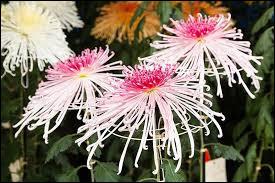 Ce sont des chrysanthèmes de type :