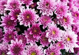 Plante (5) - Le chrysanthème - La fleur de l'automne