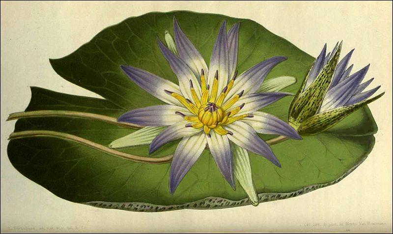 """Considérée par les anciens Égyptiens, comme la """"fleur initiale"""" aux pouvoirs magiques, très présente dans la décoration des temples. Quelle est-elle ?"""