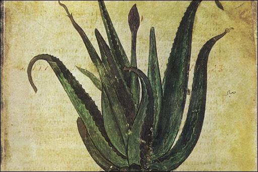 """Première plante dont le """"sang"""" donnait la beauté, la santé et l'éternité. Quelle est-elle ?"""