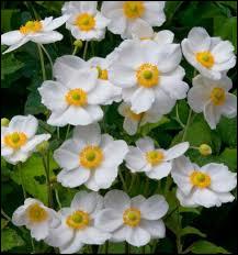 Quelle est cette fleur qui fleurit plusieurs fois dans l'année sans demander énormément d'entretien ?