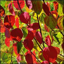 Cet arbre mettra un peu de couleur dans votre jardin :