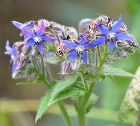Quelle est cette plante herbacée avec des fleurs bleues en forme d'étoile ?