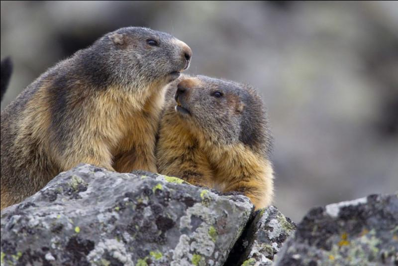 Que la montagne est belle ! Vous avez vu des marmottes, mais je vous pose une question :