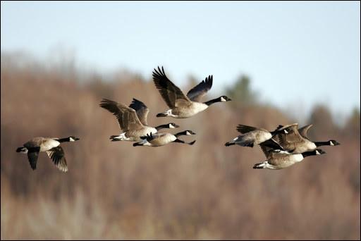 """Dans sa chanson """"Le Chasseur"""" quels oiseaux migrateurs Michel Delpech, soudain, a-t-il vu passer ?"""