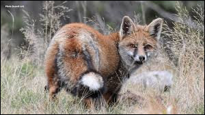 Ce mot désigne un mammifère mâle dont un seul testicule est descendu dans le scrotum.