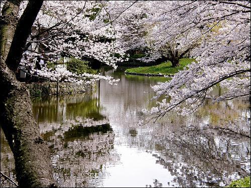 Les Japonais vouent un culte au cerisier. Ils en cultivent plus de 300 variétés. L'arbre a une telle importance pour les Japonais qu'ils :