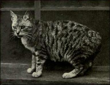 En chemin vous croisez un Manx, une race de chat typique de là-bas. Quelle est l'étonnante particularité de ce chat ?