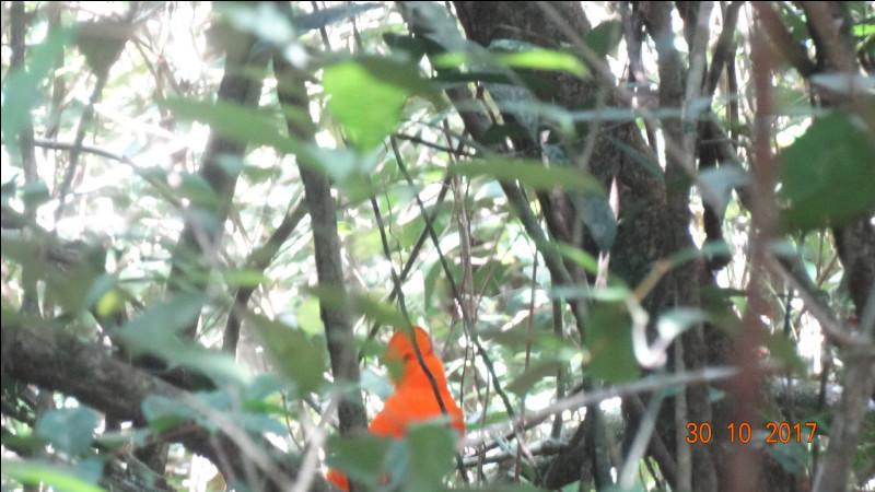 Guyane 2017, trouvez le nom de cet oiseau !